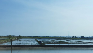 Use Bacillus in aquaculture well to increase production and income!