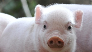 The Function of Yeast Hydrolysate for Swine Breeding