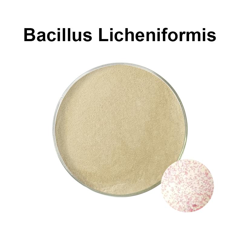 Bacillus Licheniformis