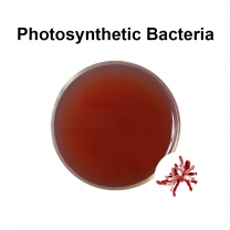 Photosynthetic bacteria